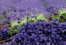 LAVENDER / by Therese' Pureveen