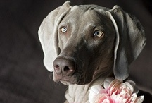 Weimaraner's / by Becky Thompson