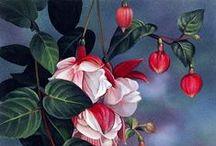 Art - Fuchsias / by Peggy Bousman