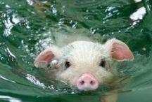 {precocious piggy}