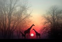 {giraffe}