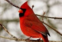 {cardinals}