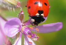 LADYBUGS LADYBIRDS  / #ladybug #uğurböceği #ladybird