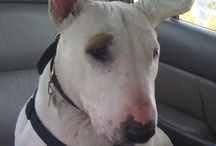 Bull Terriers 2 / This is a board to celebrate and share your favorite bull terrier pins. This clownish breed is such a joy! They never cease to amaze and entertain all those around them. / by Janay Rittgers