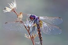 Dragonflies / This dragonfly came up to me. He was hovering right in front of my face, and I was really examining him, thinking, How does he see me? I became enlightened. - Ziggy Marley / by Cathy Kent