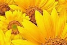 Sunflower Sunflower Sunflower / Sunflower