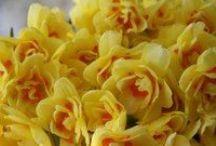 Narcissus Narcissus Narcissus / Narcissus