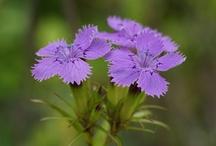 Nadeshiko Purple