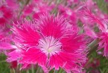 Nadeshiko Pink