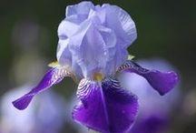 Irises / by Rhonda Bedwell
