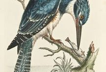 Birds / From George Edwards, the Father of British Ornithology, to John James Audubon, who conducted the first known bird-banding experiment in North America, we offer a wide variety of antique engravings from the 18th and 19th century.