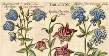 Botany / The Antiquarium is please to showcase a wide variety of antique botanical illustrations depicting nature's blooms from the farthest reaches of the earth and spanning four centuries.
