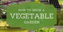 How to Grow a Vegetable Garden / Tips and ideas on vegetable gardening for beginners or the warriors. Vegetable container gardening. Square foot gardening. Raised bed gardening for beginners. Container vegetable gardening. Small space gardening. In your backyard, indoors, or in pots.