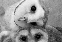 Owls / Owl love