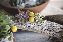 Driftwood, Manzanita and Other Naturals / In an Array of Natural Settings from Driftwood to Shells, Sits Many A Stunning Succulent! Poetic?...