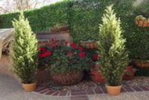 Funtastic Ficus, C the Cypress & Oh Boy Olive Trees! / Trees, simply stated are beautiful! This board is dedicated to Ficus and Olive Trees in containers or planted. So many awesome ideas!  Some are fake and others are real, can you tell the difference? Me neither!
