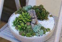 Succulents are Awesome! / I love these plants! They are easy to look after, easy to propagate and have the most insane architecture. When they flower they last for months and look fantastic in pots and terrariums.