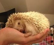 For my future Hedgie