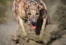 Greyhound / Celebrating the beauty, grace, elegance, charm and goofiness of Greyhounds