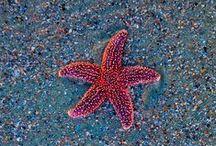 Starfish / // sea stars //