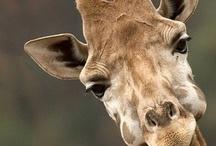 Giraffes / Giraffe photos
