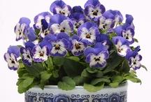 Pansies & Violets