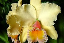Orchids / Orchid blossoms from around the world. / by Bobbie