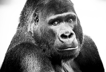 Great Apes / They are so beautiful, try and tell me there isn't something going on in these eyes.    / by Frances Simmerano Duke