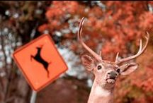 Wildlife at highways / A look at the wildlife-highway interface and how transportation agencies try to mitigate hazards & protect both animals and humans