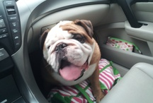 I Love My English Bulldog! / Despite their tough exterior appearance, English Bulldogs are the most loving and lovable dogs around.  Born to please and entertain, I hope the Bullies in these pins put a smile on your face! / by Jessica Guinn