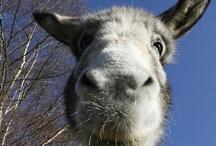 *MN* Donkeys / Never ending passion...