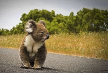 Animals : Koalas / I love koalas!
