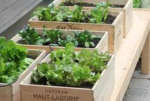 Plants : Herbs