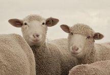 Sheep / by Christina Baker