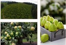 Our Orchard / We have been growing delicious fruit at our beautiful Orchard in Hood River, Oregon since 1942.  / by The Fruit Company