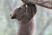 Medvék, Pandák, Koalák/Bears, Pandas, Koalas