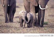 Elefántok és Mammutok/Elephants & Mammoths