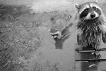 Raccoons ♥ / by Elizabeth Douglas