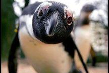 All Penguins - Photos / Penguin photos / by Steph McCulla