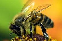 F A U N A | bees