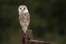 F A U N A | owls