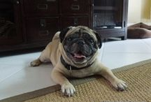 PUGS / I LOVE our Pugs, Ace and Dexter, both are rescues.