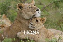 Lions / Abu, Simba, Kumba and Khiera.