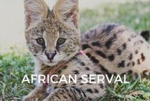 African Serval / Amara and friends