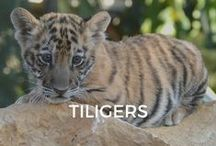 Tiligers / No one expected at ZWF that our 4 year old ligress & tiger could be fertile. This was an unplanned and unforeseen pregnancy. However it happened.   Welcome to our 2 Tiligers children, Nanika & Mbali.  We will get the outmost care, love and respect for them within our ZWF park and preserve...