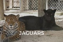 Jaguars / Onyx was 21 days when he arrived at ZWF. He is Nochi's little brother!