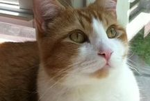 Orange and White Cats / Ginger Felines are the best!