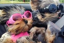 All Yorkshire Terrier / Devoted to Yorkshire Terrier (Yorkie) Lovers Everywhere--