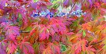 Japonské javory / Kultivary japonských javorů