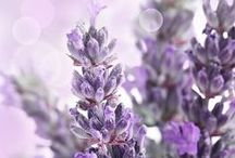 LAVENDER, BUMBLEBEES, and LADYBUGS / beautiful lavender, bumblebees, and ladybug magic!!  / by Danielle Reeder